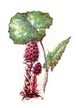 imagine poza cu Brusturele ( Petasites officinalis )