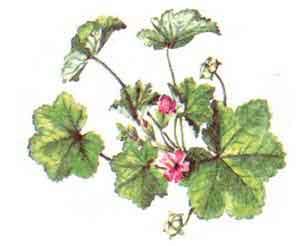imagine poza cu Casul-Popii,Nalba (Malva vulgaris,neglecta)
