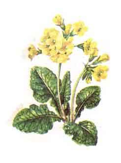 imagine poza cu Ciubotica - Cucului (Primula officinalis - P. veris)