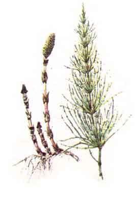 imagine poza cu Coada-Calului (Equisetum arvense)