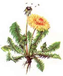 imagine poza cu Papadia (Taraxacum officinale)